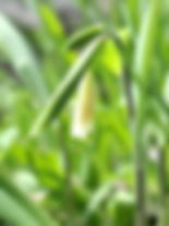 Wild Oat Bromus ramosus.jpg