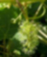 Vine Vitis vinifera.jpg