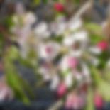 Crab Apple Malus Sylvestris.jpg