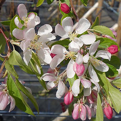 Crab Apple Malus Sylvestris.jpg