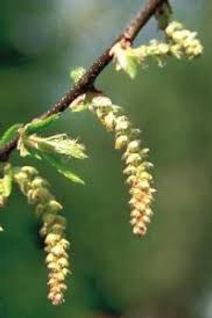 Hornbeam carpinus betulus.jpg