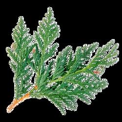 cedar-wood-juniperus-virginia-oleo-essen
