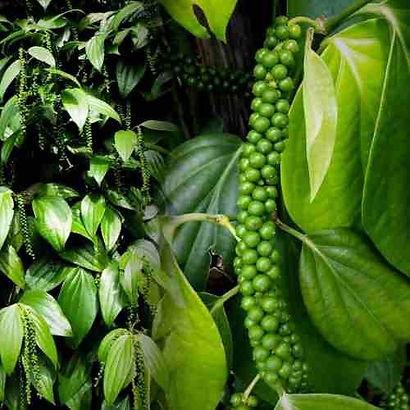 pimenta-preta-planta.jpg