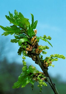 Oak Querbus robur.jpg