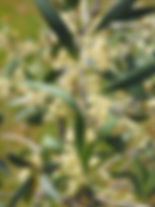 Olive Olea europea.jpg
