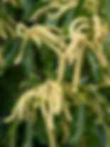 Sweet Chestnut Castanea sativa.jpg