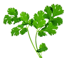 coentro-cilantro-planta-.png