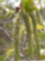 aspen populus-tremuloides.jpg