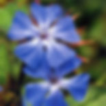 Cerato - Ceratostigma willmottiana.jpg