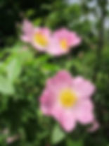 Wild Rose Rosa canina.jpg