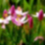 centaury Centaurium erythraea.jpg
