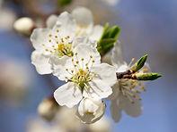 Cherry Plum- Prunus_cerasifera.jpg