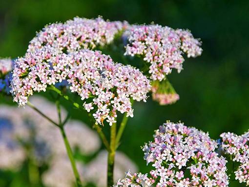 Valeriana - Tranquilizante Natural