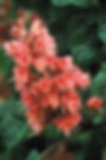 Red Chestnut Aesculus carnea.jpg