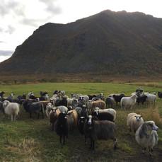 Sauer i Lofoten
