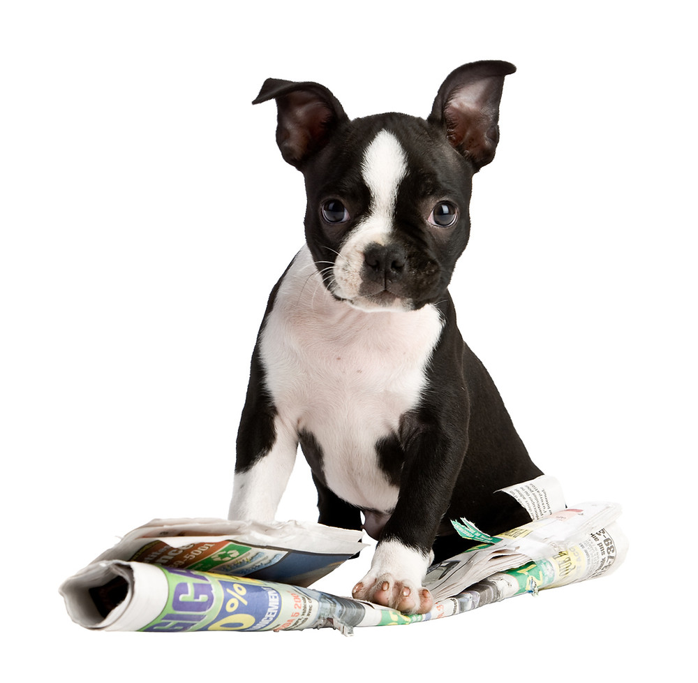 Boston terrier playing on newspaper