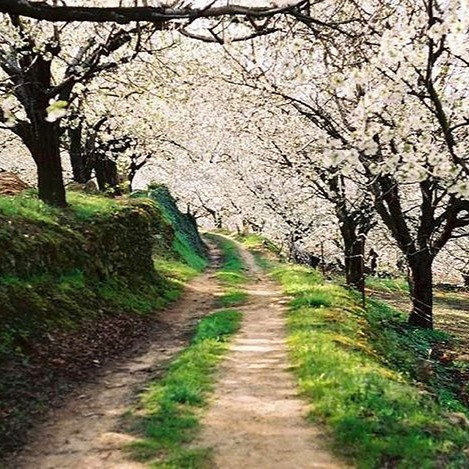 Spain's cherry trees in the Spring