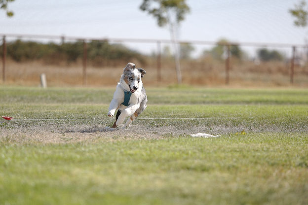 Sports class lure coursing