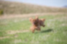 Puppy basic recall