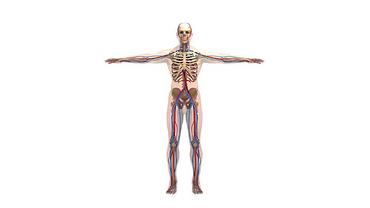 fasting-molecule-delays-vascular-aging-3