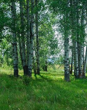 fort-klamath-aspen-trees-a10b6fe33df3737