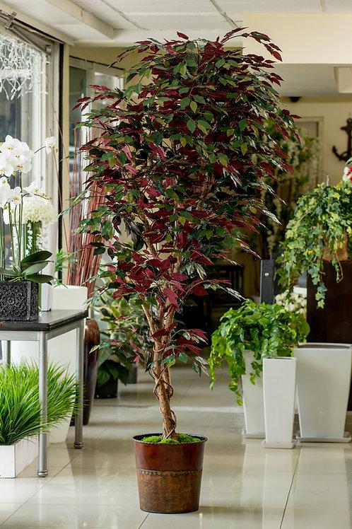 Ficus Capencia