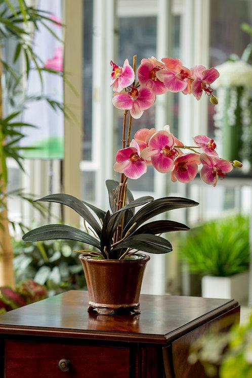 Phalaenopsis Fushsia matizada