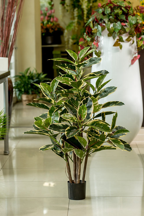 Rubber Leaf (variegata)