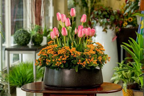 Jardin de tulipanes y echeverias naranjas