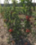 Tomates Cache Verte