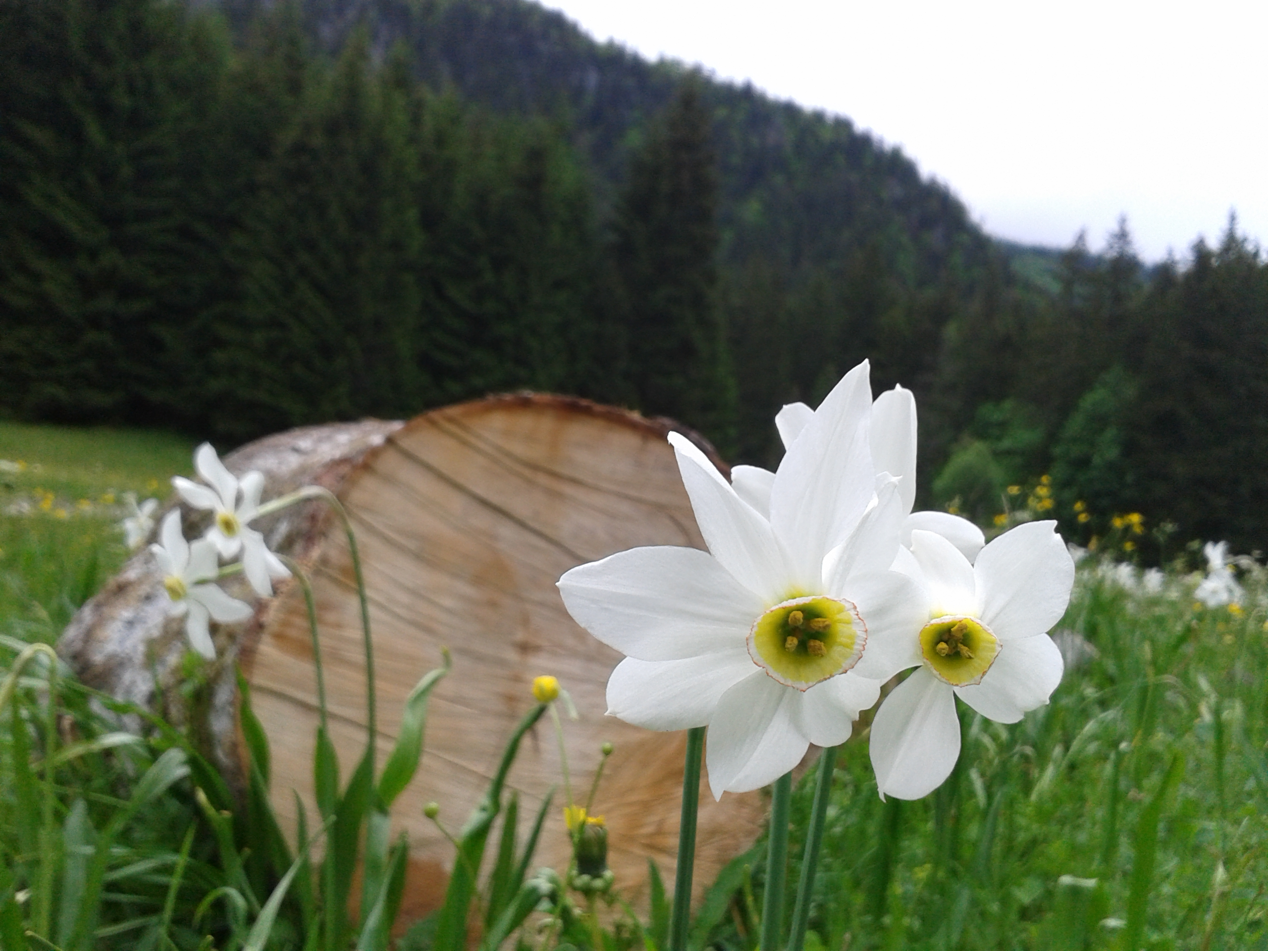 Narzissenblüte in Tauplitz