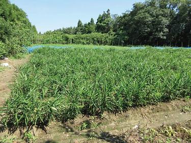 生姜畑29年度肝付05.png