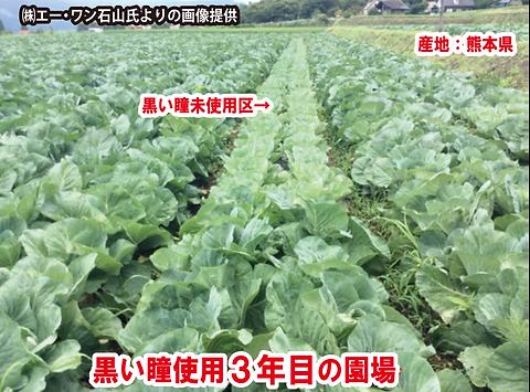 キャベツ畑.png