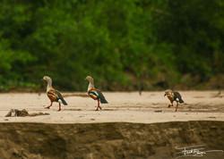 Amazon Geese