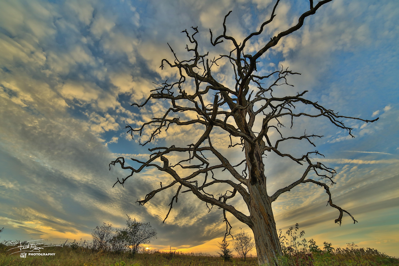 The Old Dead Oak