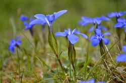 Gentianopsis / Fransenenzian