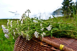 Achillea Millefolium / Schafgarbe