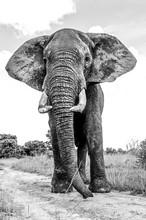 Elephant BW.jpg