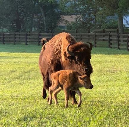 THS Farm Buffalo
