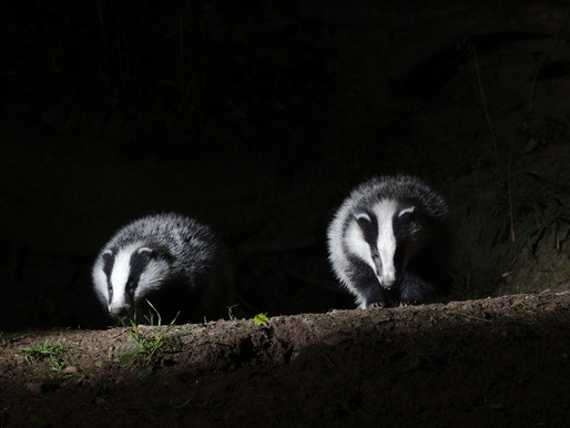 Badger Trust appalled as latest badger cull figures show highest kill rate yet
