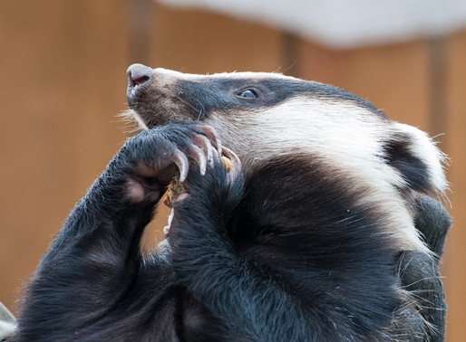 Bern Convention puts complaint on 'stand by' to monitor developments on the badger cull policy