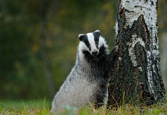 BT%2520badger%2520with%2520paw%2520on%25