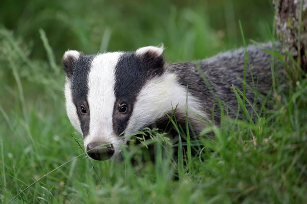 Badger emerges from behind a tussock - Mating in European Badgers - Paul Saunde