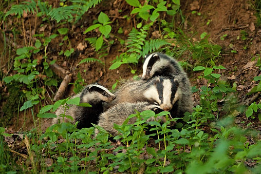 BT badger sow and three cubs AdobeStock_