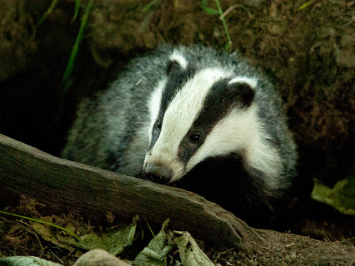 Badger Trust: It's time to end the failed £1.5m badger killing scheme in Wales