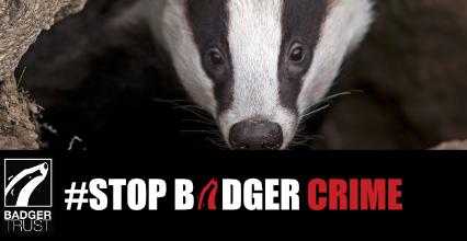 Badger killer faces Christmas in prison as Badger Trust hopes for custodial sentence