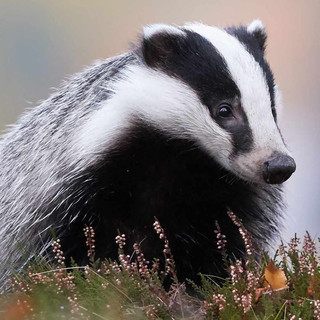 High Court ruling against the National Farmers Union: Derbyshire cull decision