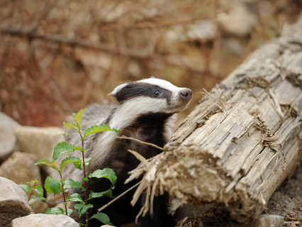 Badger Trust criticises Defra badger cull challenge response as 'meaningless'