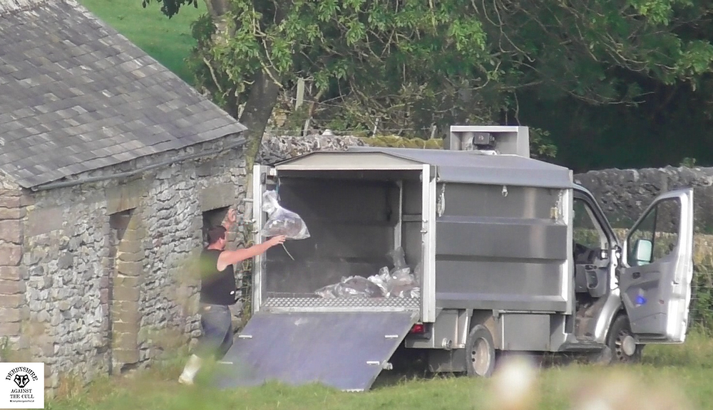 Cull contractor throwing bagged badger carcass to load truck ©Derbyshire Against The Cull