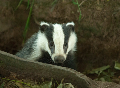Over three-quarters of badgers killed in £1m Welsh Govt TVR programme were vaccinated or healthy